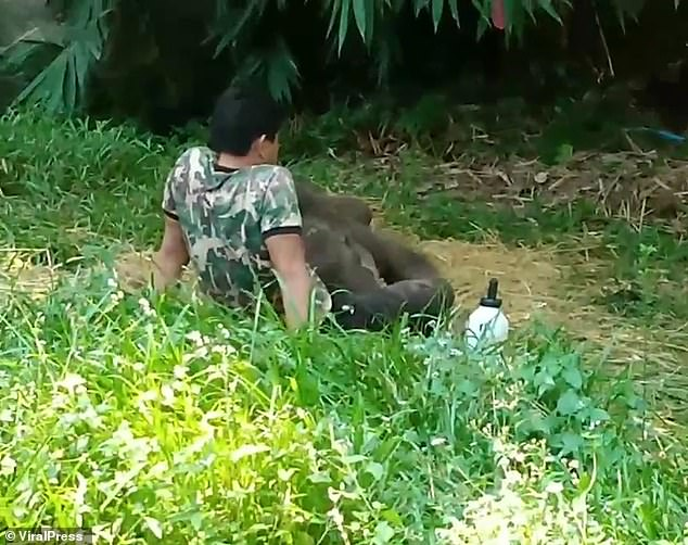 Orphaned baby elephant returns to lay on carer lap after releasing to the wild 1