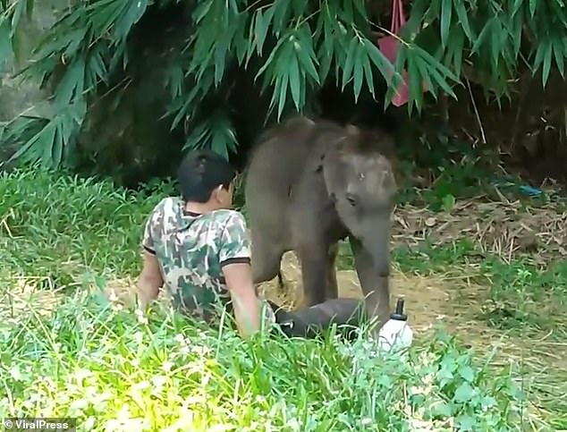 Orphaned baby elephant returns to lay on carer lap after releasing to the wild 2