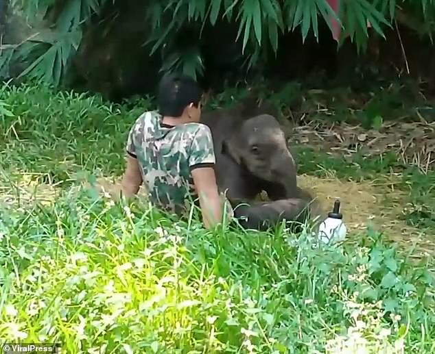 Orphaned baby elephant returns to lay on carer lap after releasing to the wild 4
